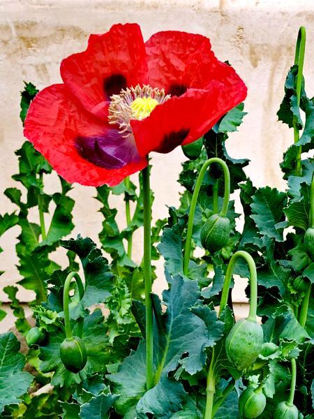 Winnie's Poppy