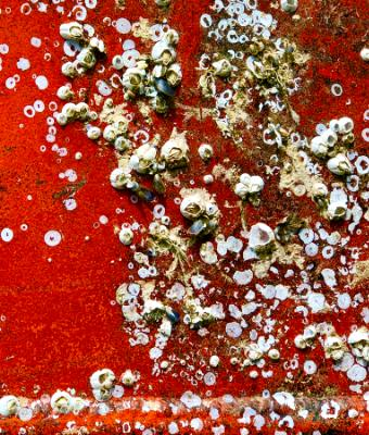 Barnacles Against the Red