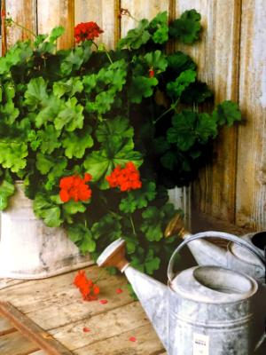 Watering Cans with Geraniums